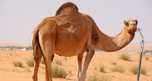 camel-needle